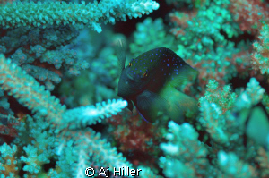 Colorful damsel fish plays amidst hard coral; shot with N... by Aj Hiller